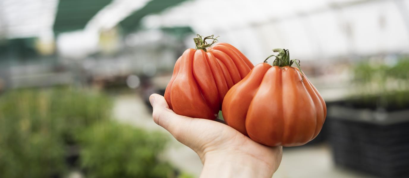 Eine Hand, die Tomaten hält.