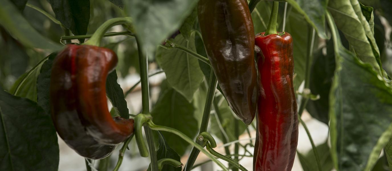 rote Paprika