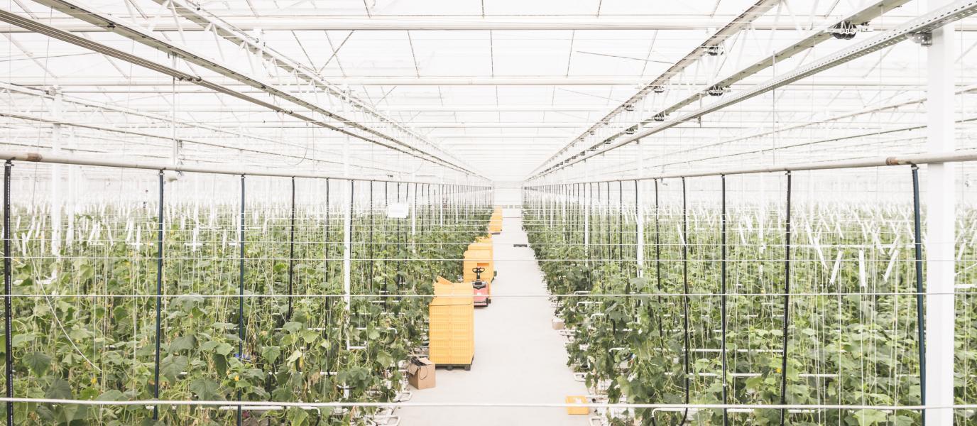 Reihen von Gurkenpflanzen im Glashaus